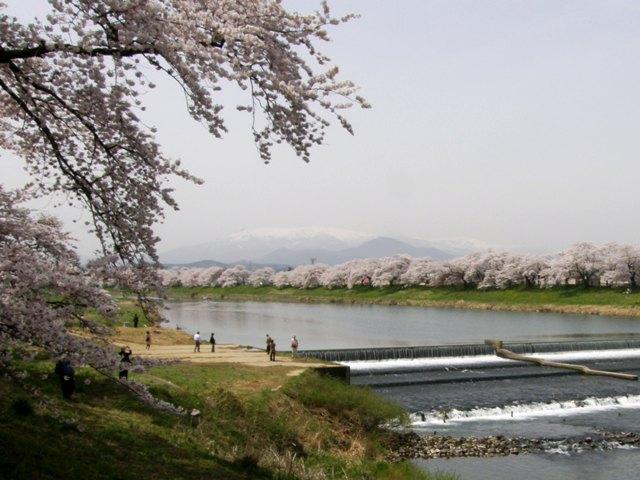 Sakura_zao