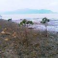小浜島のヒルギ